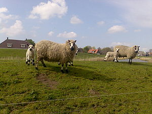 Kerry Hill, two ewes and their lambs.