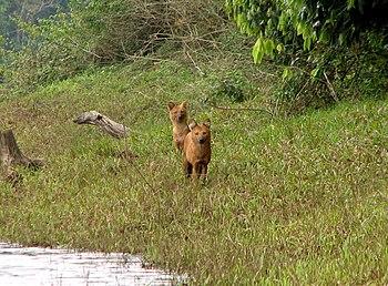 Dholes in the Periyar National Park, Kerala, India