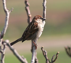 A sparrow in Malta. In Malta the resident spar...