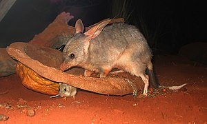 A bilby (Macrotis lagotis) with a smaller anim...