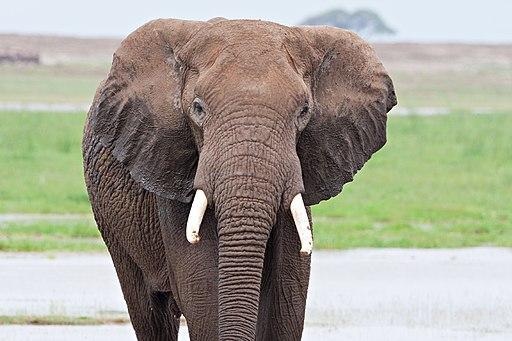 Elephant bull amboseli-JoeMilmoeUSFWS (6987533705)