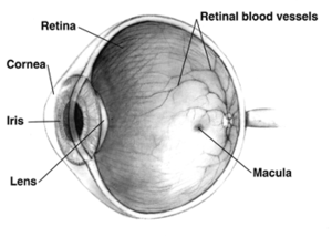 Diagram of a human eye; note that not all eyes...