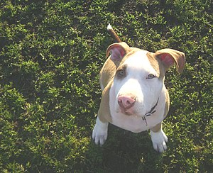 An American Pit Bull Terrier looking up at the...