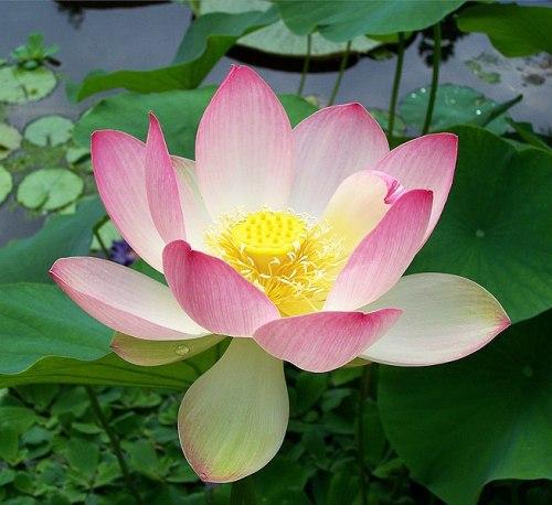 File:Sacred lotus Nelumbo nucifera.jpg
