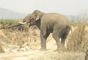 A bull elephant in Corbett National Park