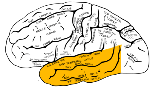 Gray726 temporal lobe