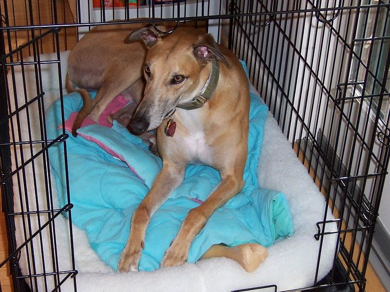 File:Greyhound in dog crate.jpg