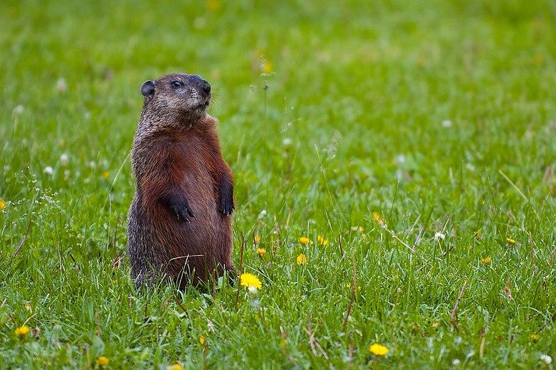 File:Groundhog-Standing2.jpg