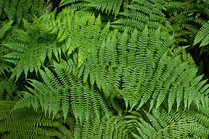 Fern plants at Muir Woods, California