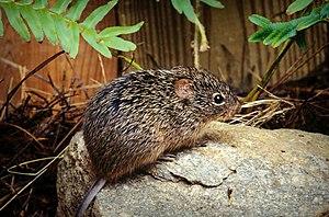 Sigmodon hispidus or another cotton rat close ...
