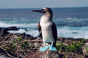 Blue-footed Booby, taken in the galapagos isla...