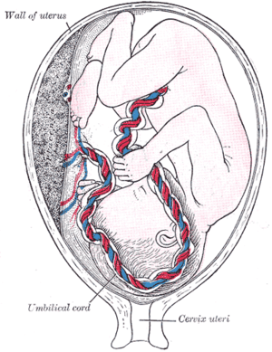 Fetus in utero, between fifth and sixth months.