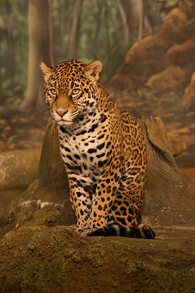 File:Jaguar sitting.jpg
