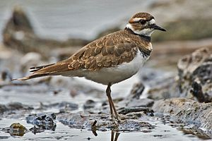 Killdeer, Albert Head Lagoon, Metchosin, Near ...
