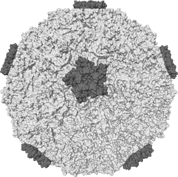 File:Rhinovirus.PNG