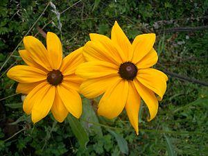 English: Rudbeckia sp. Deutsch: Rudbeckia sp.