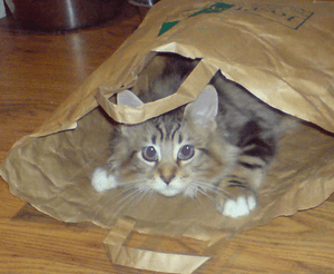 English: Young Maine Coon cat in paper bag