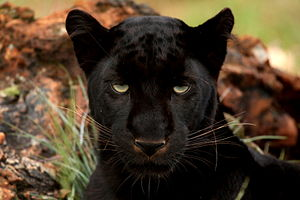 English: Black Panther. Photo taken at Rhino a...