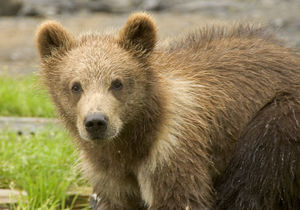 Close up of a grizzly bear cub at the Kodiak N...