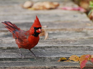 Northern Cardinal, Cardinal, Cardinalis cardin...
