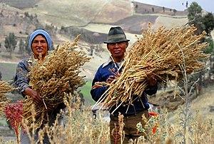 Fairtrade Certified quinoa producers in Ecuador