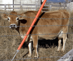 Jersey cow in western United States. Whitney m...