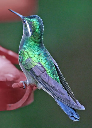 Purpurkehlnymphe / Purple-throated Mountain Ge...