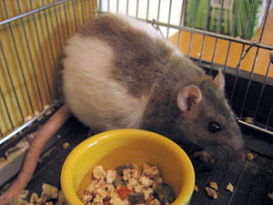 Rattus norvegicus, bicoloured pet rat eating i...