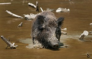 The Wild Boar (Sus scrofa) is the wild ancesto...
