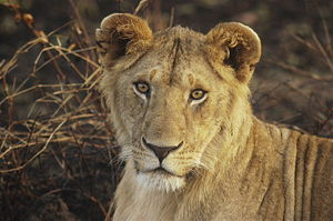 Young Lion. Masai Mara National Reserve, Kenya.