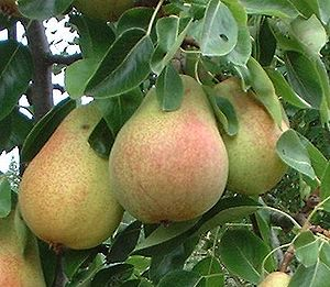 Clapps Favorite pear, British Colombia, Canada...