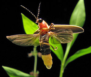 Photinus pyralis, common eastern USA firefly, ...