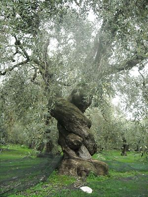 English: Unique Ancient Olive Tree