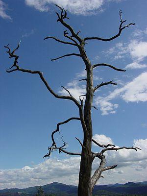 English: Dead tree Deutsch: Abgestorbener Baum