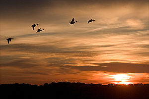 Geese flying in an orange sky.