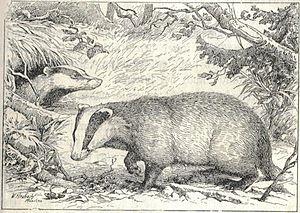 Heubach badger