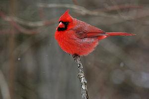 Northern Cardinal (Cardinalis cardinalis) or R...