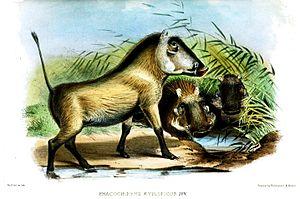 Southern Warthog(?), juveniles