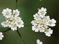 Torilis japonica.jpeg