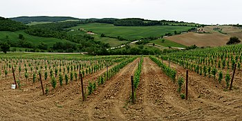 Vineyard growing in the Italian wine region of...