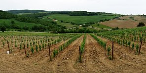 Vineyard growing in the Italian wine region of...