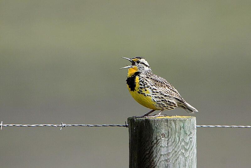 File:Western Meadowlark singing.jpg