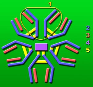 Immunglobulin M-molecule consisting of 5 base-...