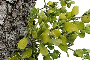 English: Mistletoe (Viscum album) in Northeast...