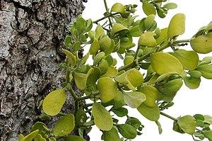 English: Mistletoe (Viscum album) in Northeast...