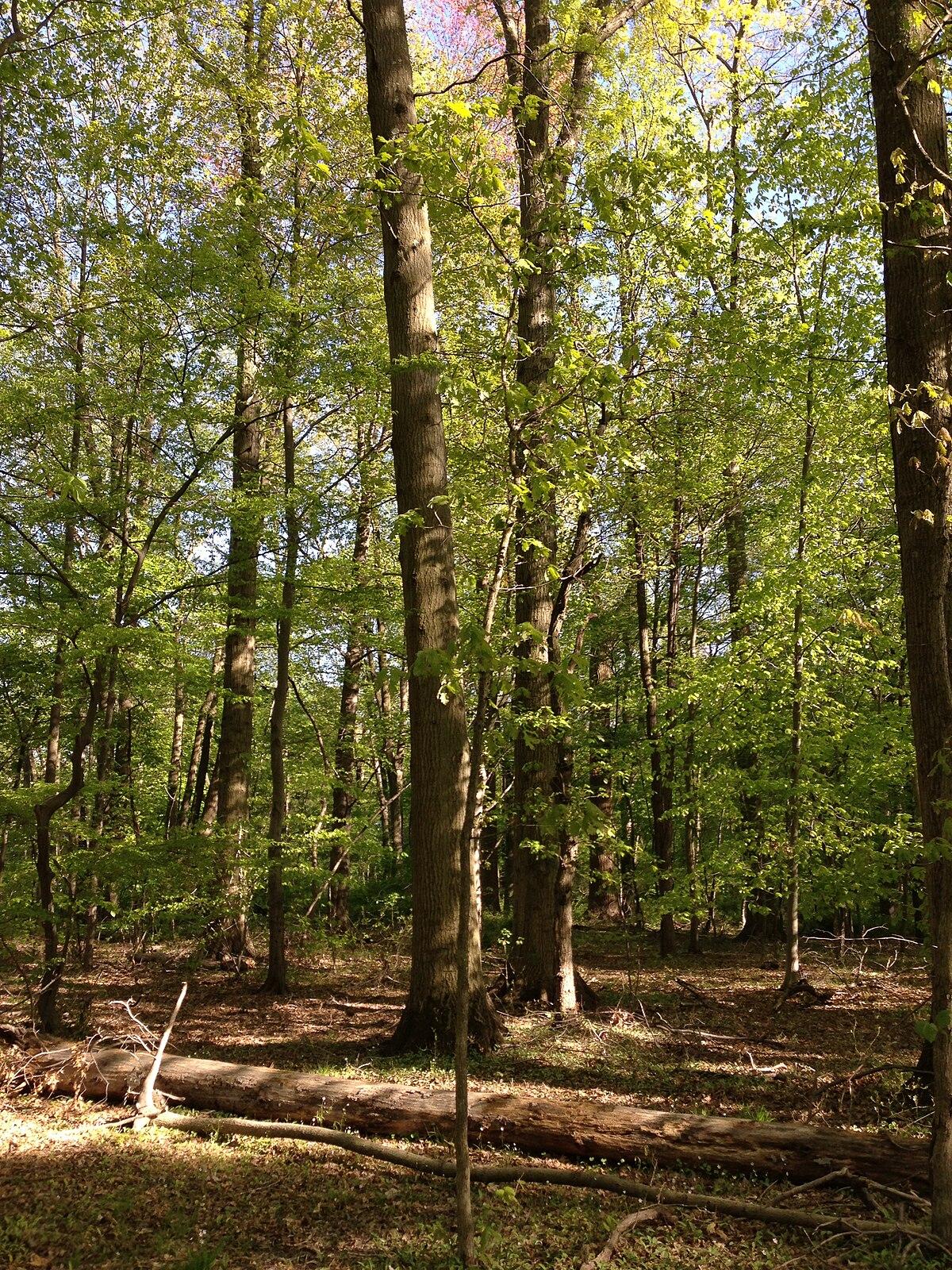 Oak Forest Wikipedia