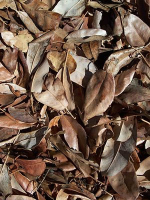 English: Pacific Madrone leaf litter. Latina: …