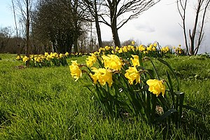 English: Daffodils at Farndon Daffodils by the...