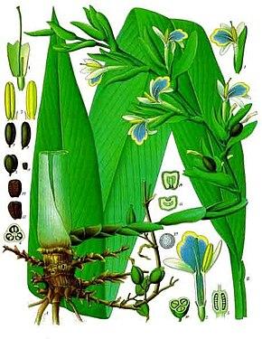 Cardamome - elettaria cardamomum