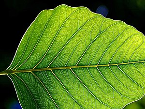 Leaf lamina. The leaf architecture probably ar...